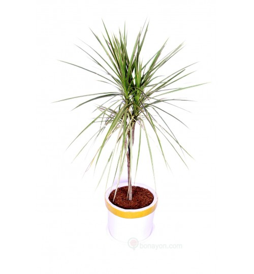 GOLDEN DRACAENA WITH GOLDEN WHITE PLANTER - INDOOR PLANT